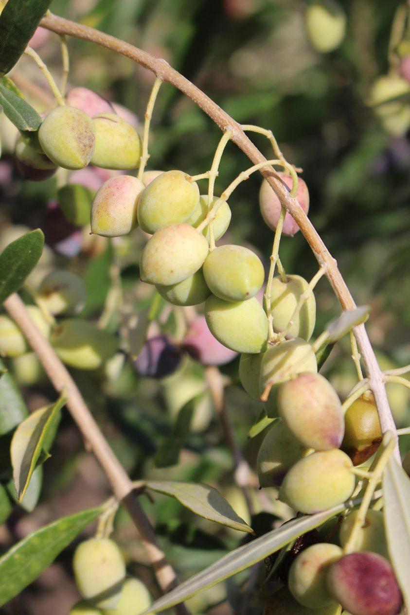 Die Olivenernte hat begonnen…
