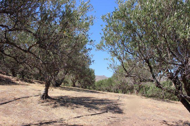 """Besuch auf den Villa Maria – Bio-Olivenhainen """"Kelaria"""" und """"Adravasti"""" bei Zakros, Kreta"""